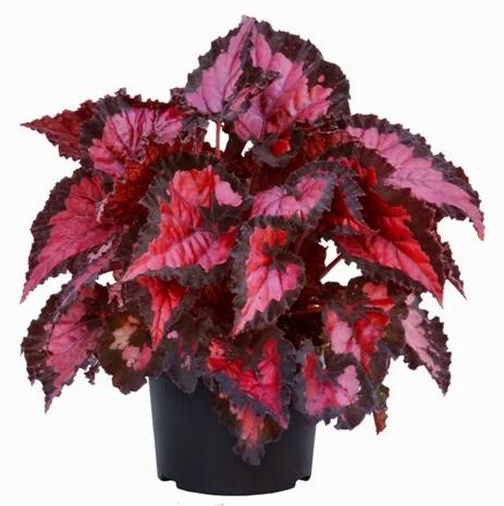 Бегония Begonia  iplantsru