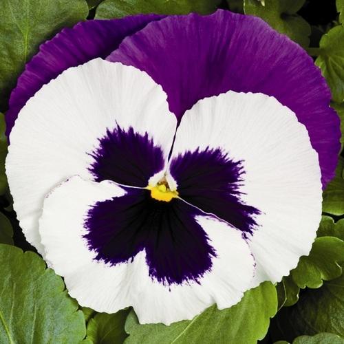 Viola фото
