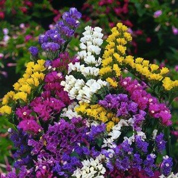 Кермек цветы фото