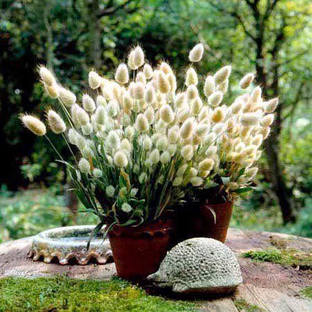 Зайцехвост выращивание из семян в домашних условиях