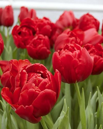 тюльпаны абба фото